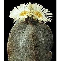 Astrophytum myriostigma potosinum seeds