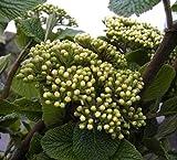 Wolliger Schneeball - Viburnum lantana (60-100)
