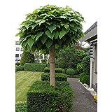 Portal Cool 50X Catalpa bignonioides Arbre Graine de plantes à feuilles persistantes d'ornement Bonsai plante Arbuste...