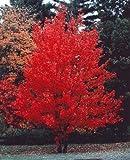 Kanadischer Rotahorn - Acer rubrum - Samen