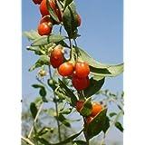 TROPICA - Tibet - Baies de goji - (Lycium chinensis) - 200 Graines