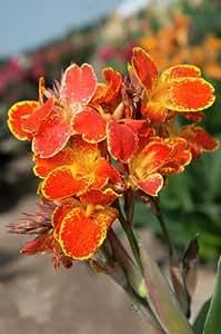 Dominik Blumen und Pflanzen, Canna rot-gelb, Größe 1, 3 Zwiebel, Langedijk