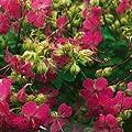 Storchschnabel, Geranium cantabrigiense 'Karmina' von VDG-Stauden bei Du und dein Garten