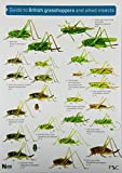 Guide to British Grasshoppers and Allied Insects (Occasional Publications)