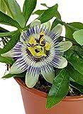 Passiflora caerulea - Passionsblume mit blau-weißen Blüten - fantastische dauer blühende Pflanze für Terrasse, Balkon und Garten
