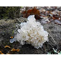 Portal Cool 20 Nieve Hongo Tremella fuciformis Seta Espigas freza Plugs micelio