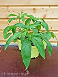 Pepino Melonen Birne Solanum muricatum Obst Pflanzen 2Stk.