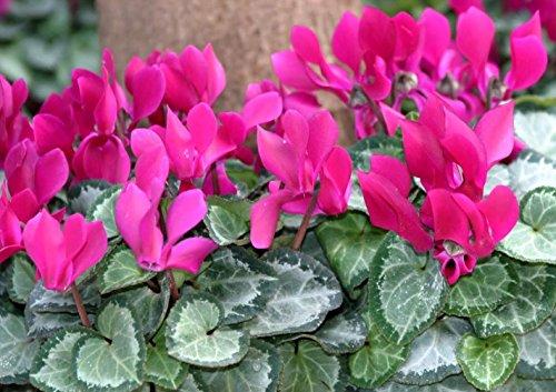 Offerta 3 piante di ciclamini fucsia vaso 10cm ciclamino perenne vaso