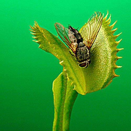 Doubleer Anti-insectes Graines Flytrap Garden Plant Bonsaï Jardin et Maison en pot Mangez Insecte Répulsif Herbe pour les Insectes Volants