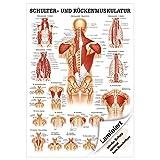 Schulter- und Rückenmuskulatur Mini-Poster Anatomie 34x24 cm med. Lehrmittel