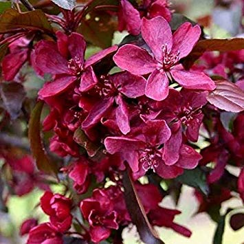 Free Nordwest-China Red 10 Stück Samen Dense Big Tree Fragrant ()