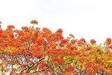 Pfauenstrauch - Caesalpinia pulcherrima - 50 Samen - winterhart