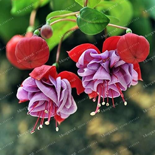 molte varietà fucsie lanterna bonsai del fiore del fai da te fiore bonsaïpianta fucsia hybrida voss bonsai 100 bonsai/bag: 14