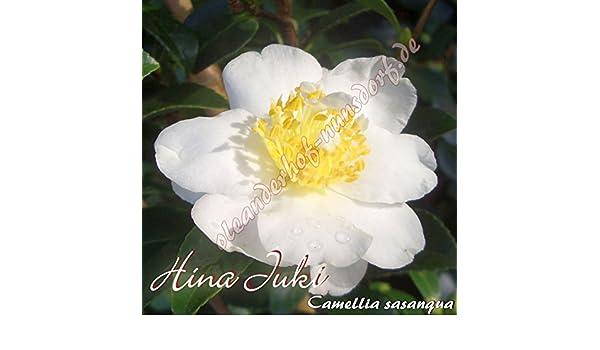 "Camellia sasanqua 4-jährige Pflanze Kamelie /""Hina Juki/"""
