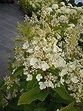 Rispenhortensie Pinky Winky 30-40 cm Strauch für Sonne-Halbschatten Heckenpflanze weiß-rosa blühend Gartenpflanze winterhart 1 Pflanze im Topf