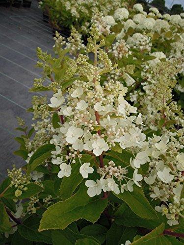 y Winky 20-30 cm Strauch für Sonne-Halbschatten Heckenpflanze weiß-rosa blühend Gartenpflanze winterhart 1 Pflanze im Topf ()