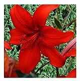 2x Asiatische Lilie Rot-Lilie F1 Zwiebeln Knollen Garten Pflanze K-ZK83