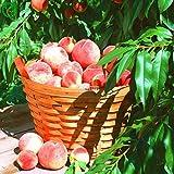 Yukio Samenhaus - Prunus persica Roter Weinbergpfirsich Obstsamen ertragreich...