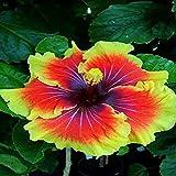 HuaYang 50 Stücke seltene Exotische Hibiskus Blume Samen Hausgarten Pflanzen Orange gelb 7