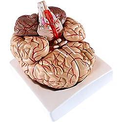 Modelo anatómico de cerebro, 9 piezas