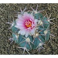 Echinocactus horizonthalonius seeds