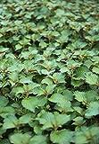 seekay Perilla grün - Shiso - Japanisch Basil - ca. 100 Samen