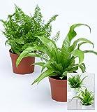 BALDUR-Garten Zimmerpflanzen-Mix'Farn',2 Pflanzen