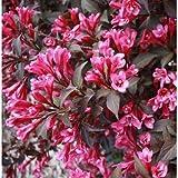 Portal Cool 3X Weigelie Purpurea Rosa Sommer-Blumen-Hardy Garten Border Strauch Pflanzen 9cm Bush