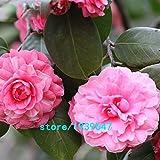Bloom Green Co. Rose Red Kamelie Samen Topfpflanzen Dachterrasse Garten Blumensamen Topf Bonsai-Baum Gemeinsame Camellia Samen 100PCS: 1