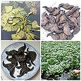 60pcs / bag Semi giapponese castagna d'acqua naturale crescita corno di bue Forma ricco di sostanze nutritive acquatiche piante da balcone Bonsai Planta