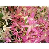1 fioritura abilitato Orchidea il varietà: Dendrobium nobile Nikkou, 9cm Pentola