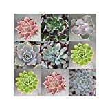 Echeveria Collection, 6 Plants
