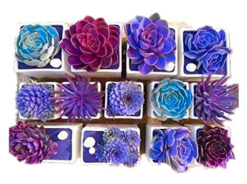 KINGDUO 200Pcs Echeverione Graines Succulentes Mixte Couleur Jardin En Pot Bonsai De Déco Maison De Semences De Fleurs