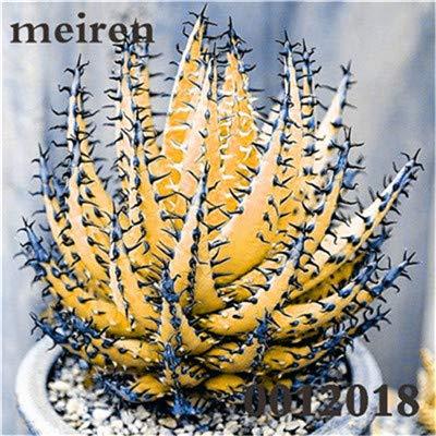 Plentree Pacchetto semi: 100 pezzi Succulente Aloe Bonsai Rare Polyphylla rotazione Aloe Vera regina Bonsai Piante grasse per la casa e amp; Giardino: 5