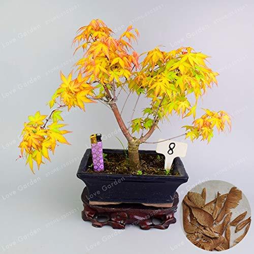 cer Mono Maxim Baum Bonsai 20 Bonsai/Pack DIY Bonsai Acer palmatum atropurpureum Bonsai ()