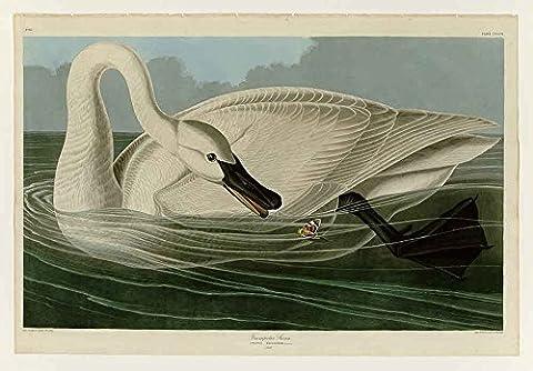 Le Musée de sortie–Audubon–Cygne trompette–Plaque 406, toile galerie enveloppé. 50,8x
