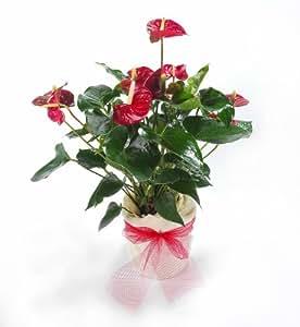 Flamingo-Blume, Anthurie im Deko-Topf, 1 Pflanze rot blühend