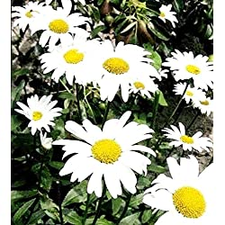 Portal Cool 1500 Seeds: Margerite Mayfield Giants Perennial Chrysanthemum - 375 750 1500 Blumensamen