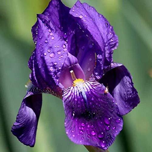 Keptei Samenhaus- Sibirisch Schwertlilien Iris Samen Mischung duftend winterhart mehrjährig Beetstaude, bunte Zierblumen fuer Balkon und Garten