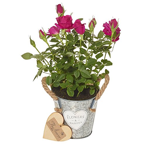 the-flower-rooms-mini-bright-pink-rose-plant-flower-gift