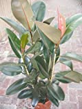 Indoor Plant -House or Office Plant -Ficus elastica - Rubber Plant Approx 95cms