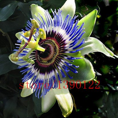 passion-flower-passiflora-incarnata-100pcs-bag-certified-pure-live-seed-true-native-seed-plant-for-h