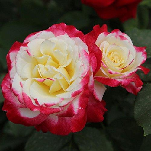 Lonlier 50Pcs Nice Adorable Fleur Parfumée Graines Fleurs Rose Graines Pots de Fleurs et Plantes