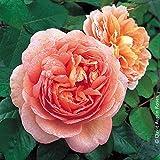"""Pflanzen Kölle Englische Rose """"Abraham Darby (Premium) - aprikot bis Geld blühende Topfrose im 6 L Topf - frisch aus der Gärtnerei Gartenrose"""