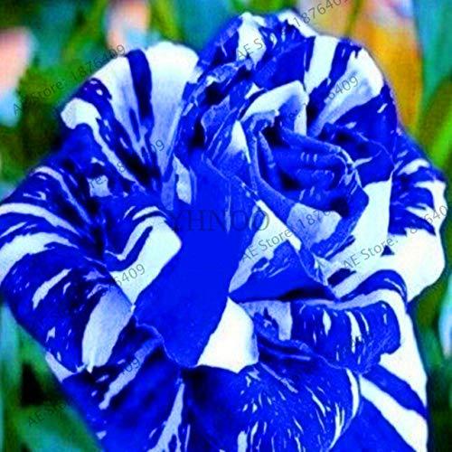 Bloom Green Co.. ! Vã©Ritable 200 pcs/Paquet Usine Rainbow Rose Holland Flower bonsaïs Rose Amant Cadeau Exotiques rares 24 Couleurs au Choix de Bricolage pour Garde à Domicile: 19