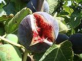 Feige Ficus carica Babits rotbraun fruited Sorte, sehr kalte tolerant, architektonische Pflanze und leckere Früchte, Grow Your Own Feige Mediterraner Starter Pflanze