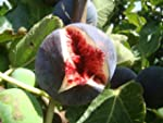Fig Tree FICUS CARICA 'Babits' red-br...