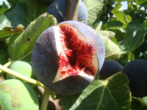 fig-tree-ficus-carica-babits-red-brown-fruited-variety-very-cold-tolerant-architectural-plant-and-ta