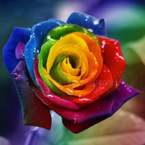 50 graines de semences Rare Rainbow Rose, For Your Lover Seed Rainbow Rose Flower