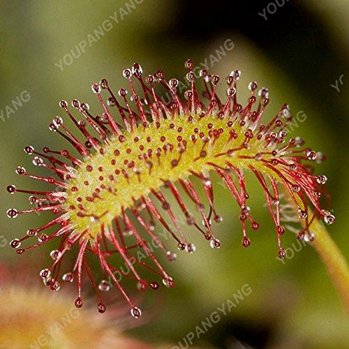 50 Pièces nouvelles semences 2017 25 sortes Flytrap semences Bonsai pot Dionaea Graine de plantes Terrasse Jardin Carnivore Graine de plantes blanches